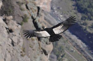Condor in Cusco - Chonta