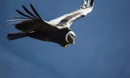 Vuelo del Condor