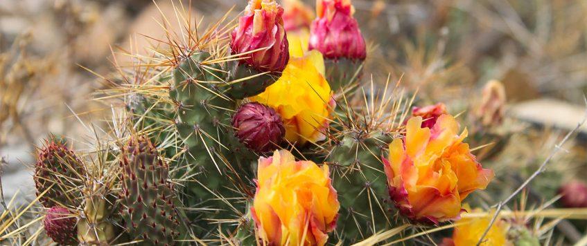 Cactus-Colca