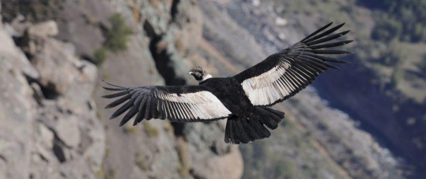 Condor Cusco Chonta