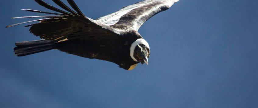 Condor Cusco Road2Peru