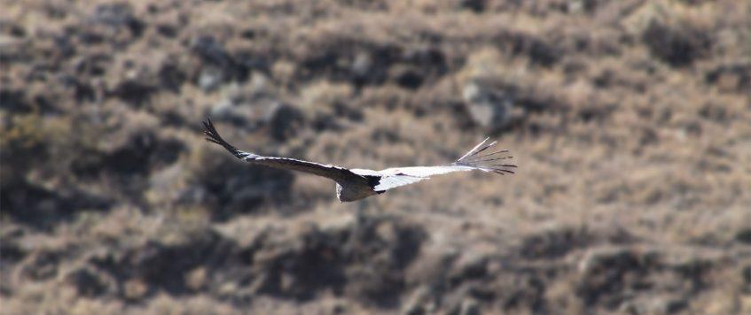Condor-in-Colca