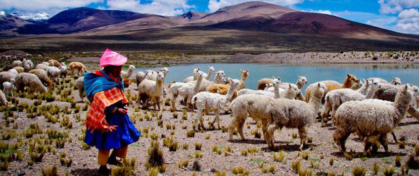 Peruvian person with llamas